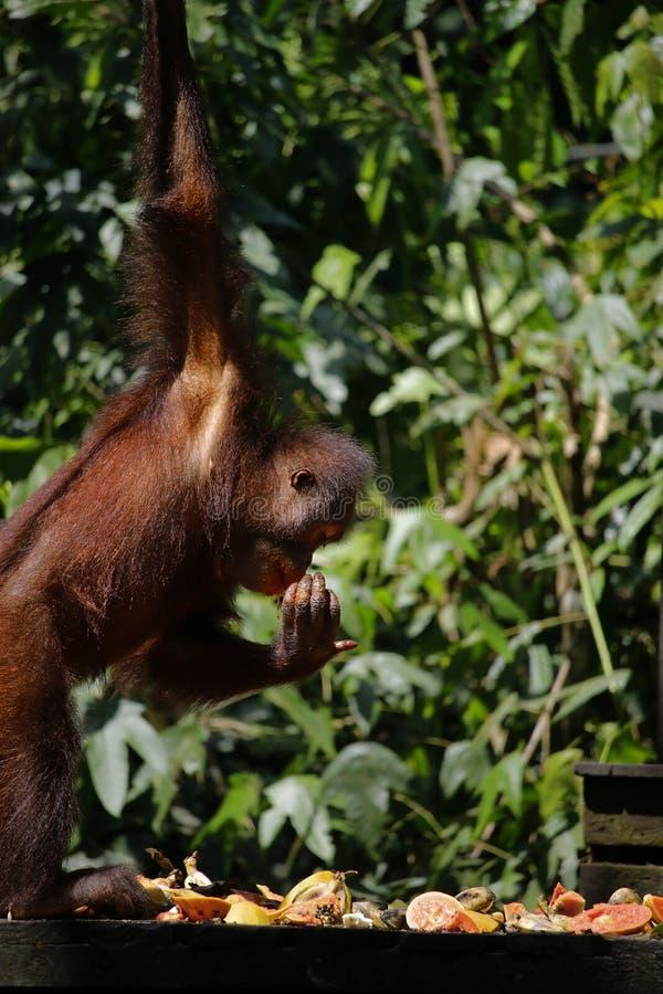 orang-outan dans la forêt tropicale photo stock