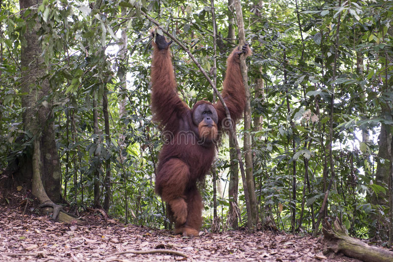 Orang-outan dans la jungle sumatra photo libre de droits