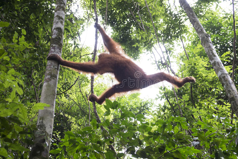 Orang-outan dans la jungle sumatra photographie stock libre de droits