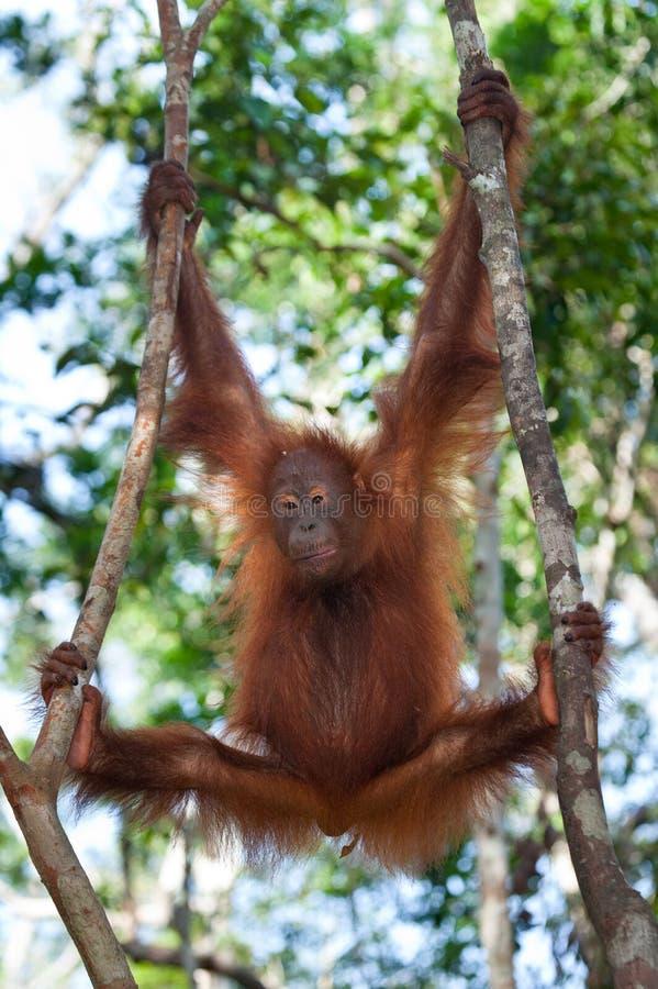 Orang-outan dans le sauvage l'indonésie L'île de Kalimantan Bornéo image libre de droits