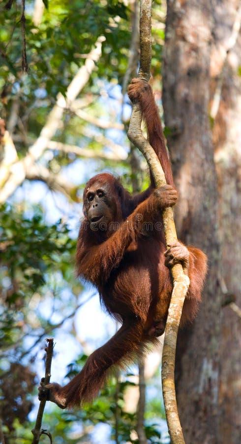 Orang-outan dans le sauvage l'indonésie L'île de Kalimantan Bornéo photos libres de droits