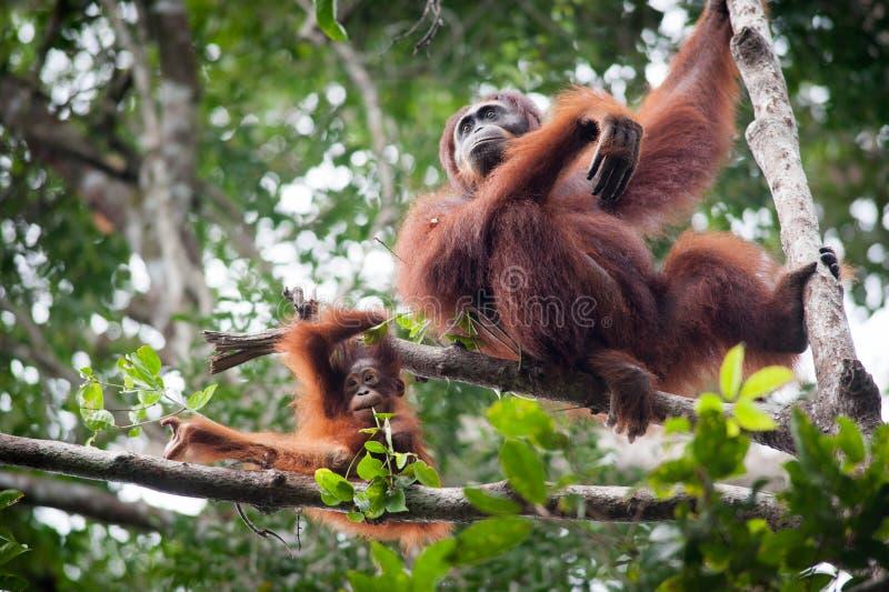 Orang-outan dans le tanjung mettant le parc national image libre de droits