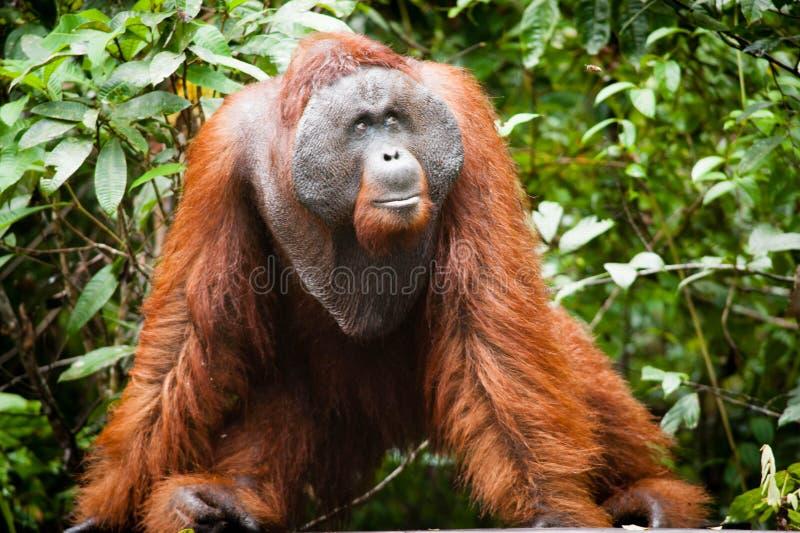 Orang-outan dans le tanjung mettant le parc national photos stock
