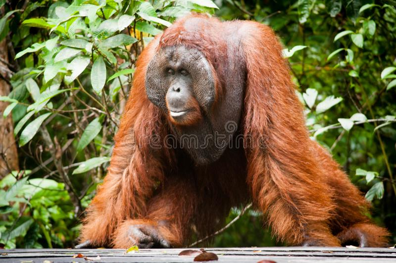 Orang-outan dans le tanjung mettant le parc national photographie stock libre de droits