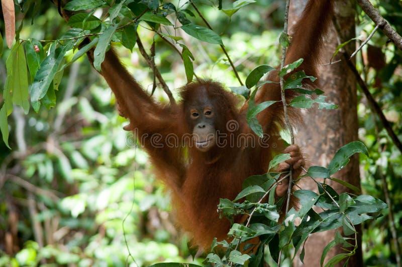 Orang-outan dans le tanjung mettant le parc national photos libres de droits