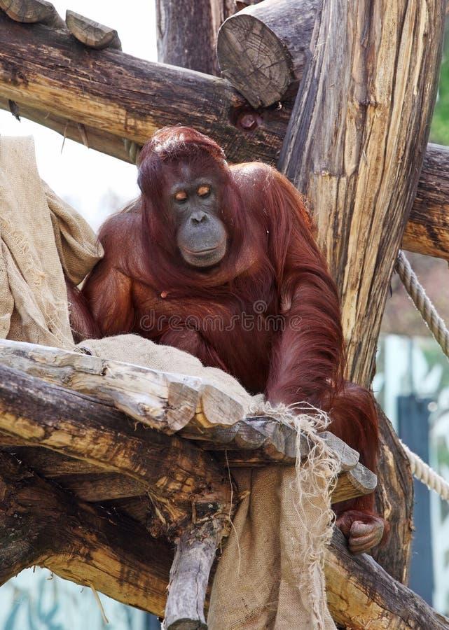 Orang-outan dans le zoo images stock