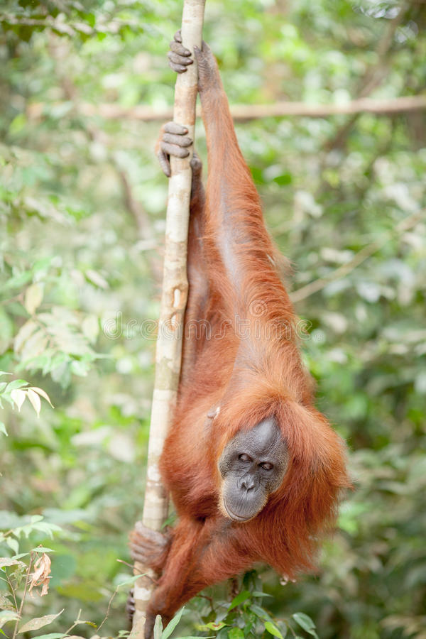 Orang-outan dans Sumatra images libres de droits