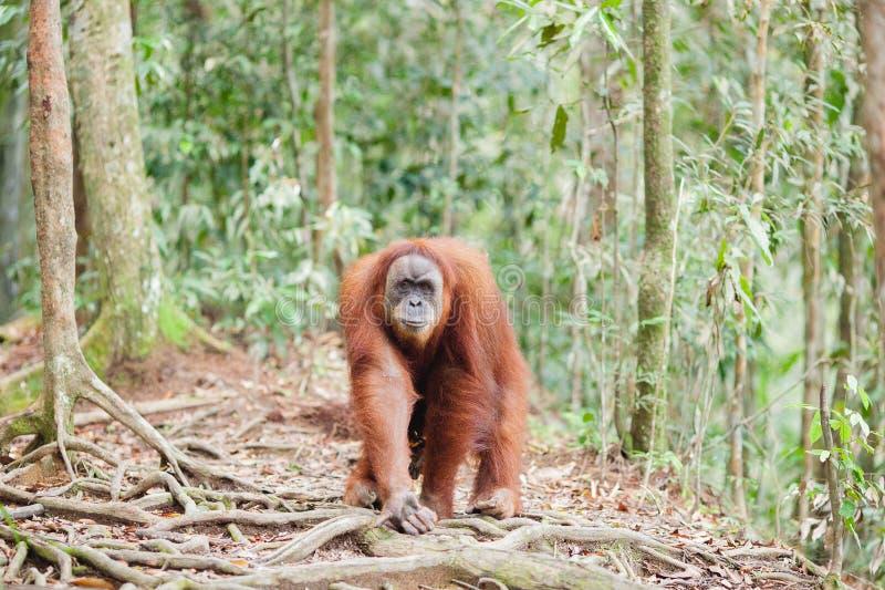 Orang-outan dans Sumatra photographie stock