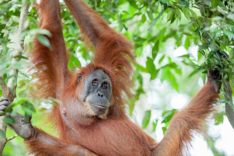 Orang-outan dans Sumatra image libre de droits
