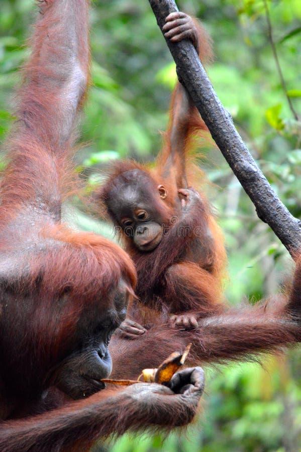 Orang-outan de bébé image libre de droits
