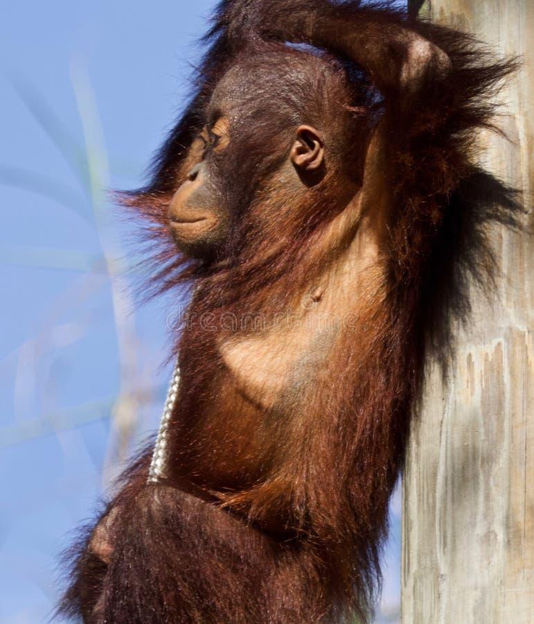 Orang-outan de bébé balançant autour images libres de droits