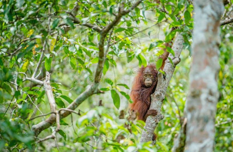 Orang-outan de bébé dans la nature sauvage Pygmaeus de Pongo image stock