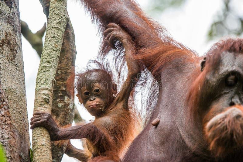 Orang-outan de bébé dans la nature sauvage Pygmaeus de Pongo photos libres de droits