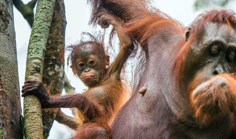 Orang-outan de bébé dans la nature sauvage Pygmaeus de Pongo image libre de droits