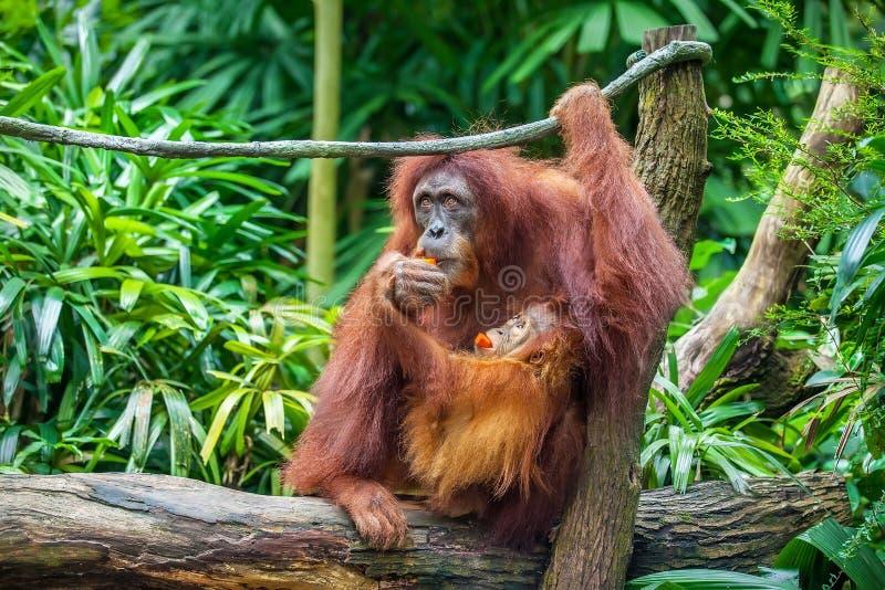 Orang-outan de bébé et de mère mangeant des fruits image stock