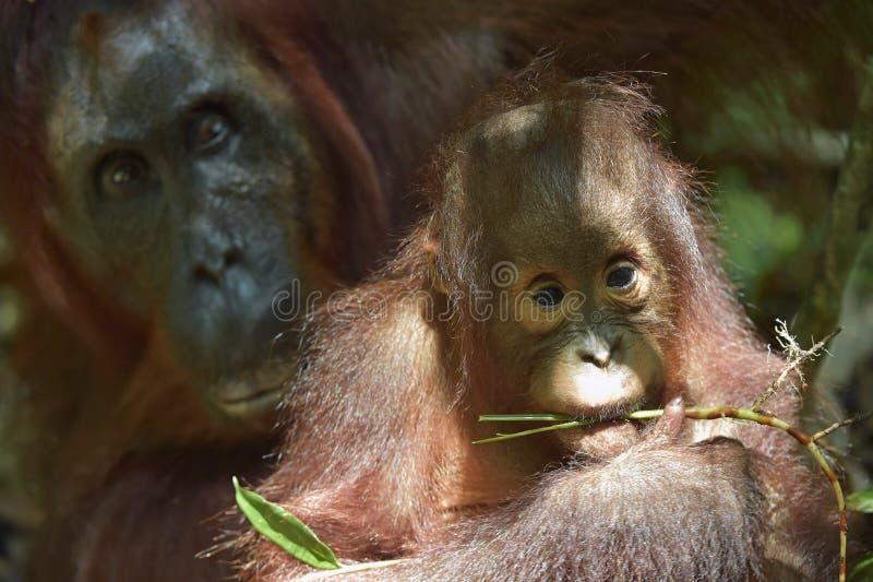 Orang-outan de bébé La fin vers le haut du portrait de l'petit animal de l'orang-outan de Bornean (pygmaeus de Pongo) photos libres de droits
