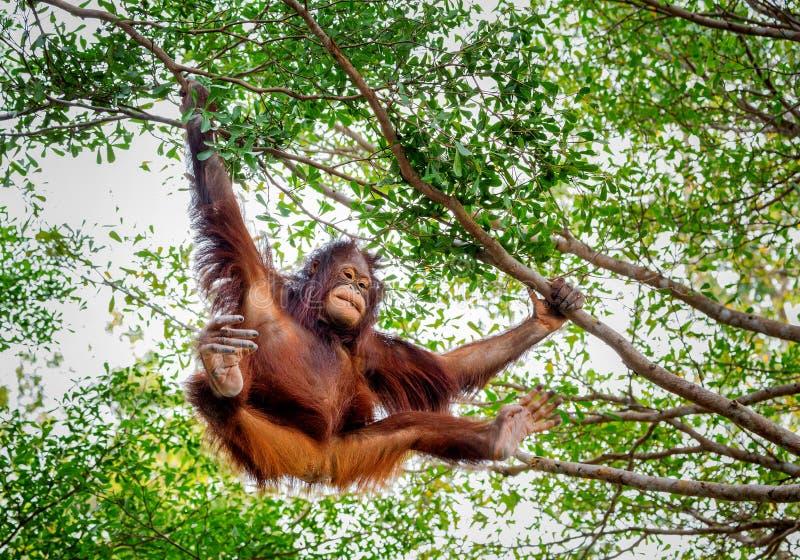 Orang-outan de bébé sur un arbre photo libre de droits