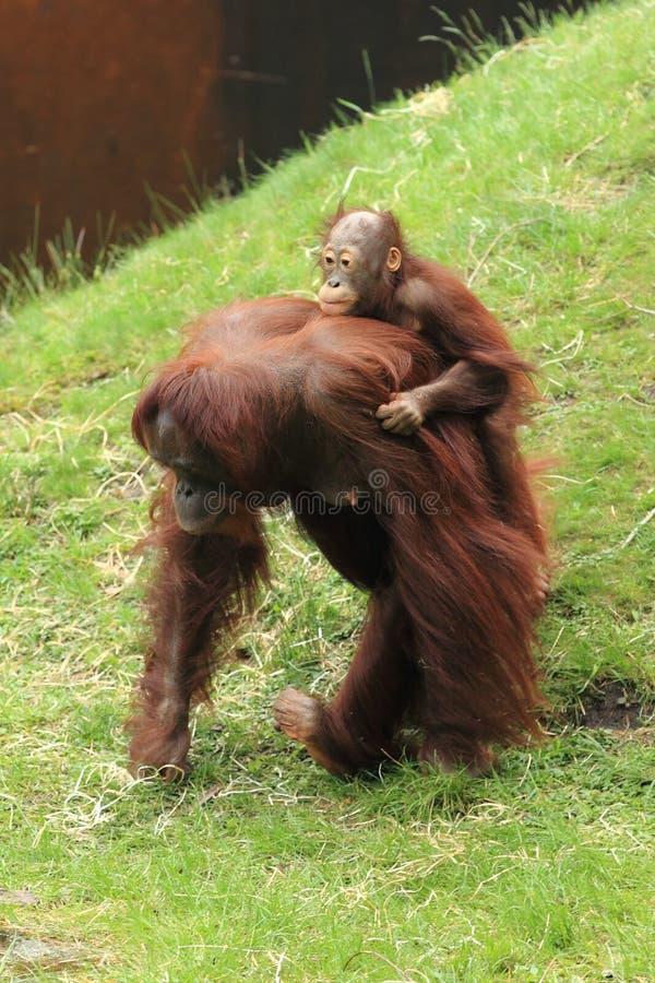 Orang-outan de Bornean photos libres de droits