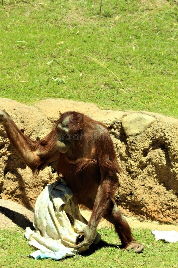 Orang-outan de Bornean photos stock