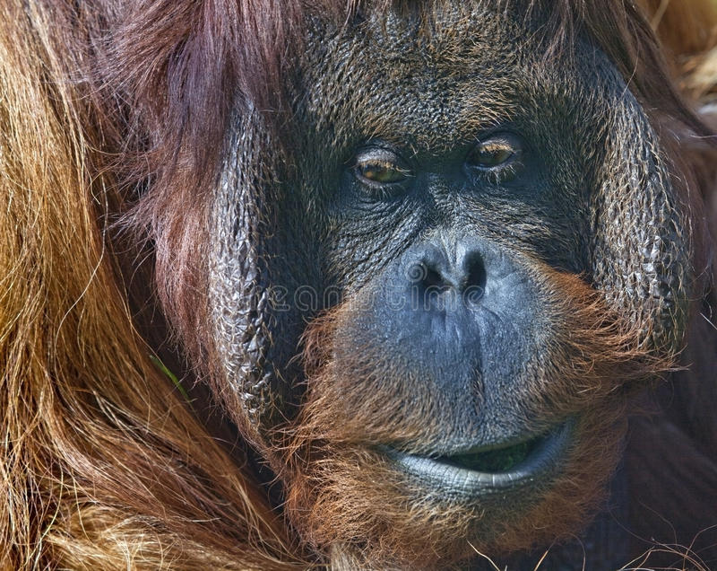 Orang-outan de Bornean dans le zoo images stock