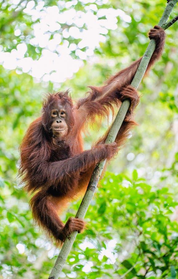 Orang-outan de Bornean sur l'arbre Pygmaeus de Pongo photo stock