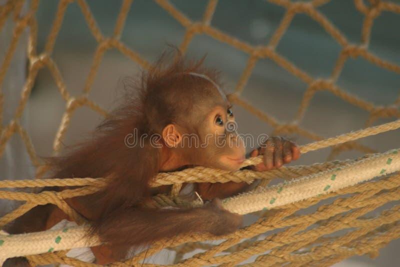 Orang-outan de chéri photos stock