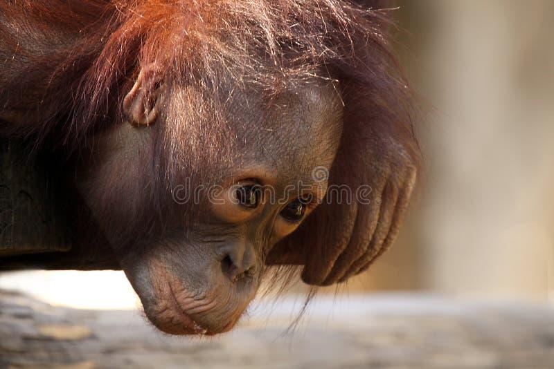 Orang-outan de chéri photo stock