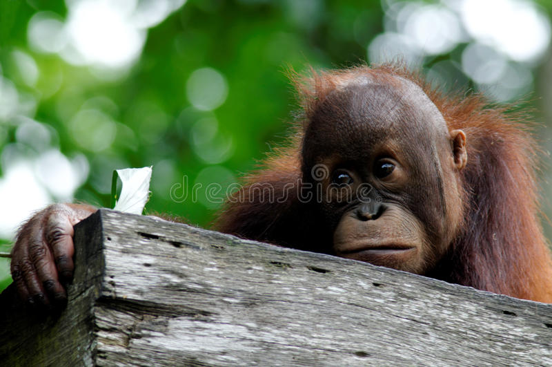 Orang-outan de ch?ri images stock