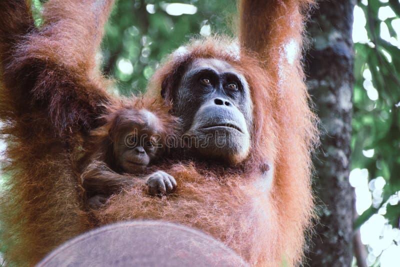 Orang-outan de mère et de bébé pendant d'un arbre dans la forêt tropicale de Sumatra, Indonésie image libre de droits