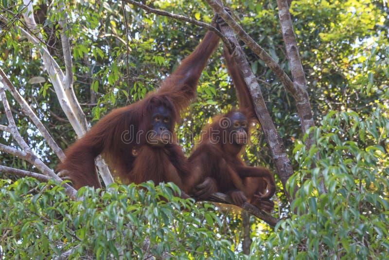 Orang-outan de mère et de bébé photos libres de droits