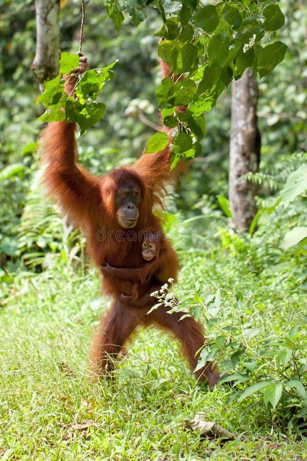 Orang-outan de mère et de chéri photographie stock libre de droits