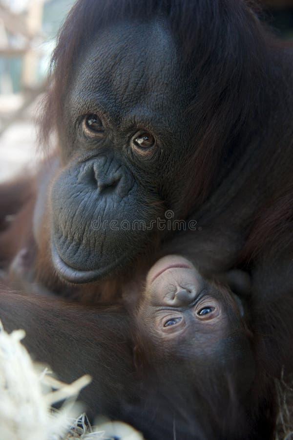 Orang-outan de mère et sa chéri nouveau-née 1 mois - P photos stock