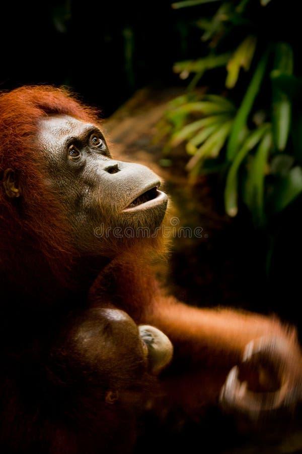 Orang-outan de mère se tenant dessus sur son enfant photo stock