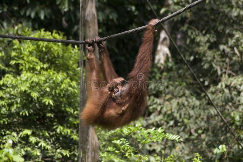 Orang-outan de Sepilok photos stock