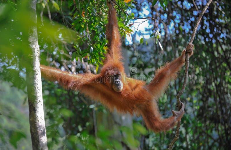 Orang-outan de Sumatran photo stock