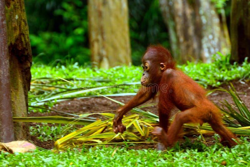 Orang-outan de Sumatran photographie stock libre de droits