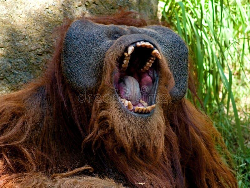 Orang-outan de Sumatran photo libre de droits