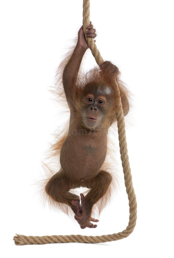 Orang-outan de Sumatran de chéri sur le fond blanc images libres de droits