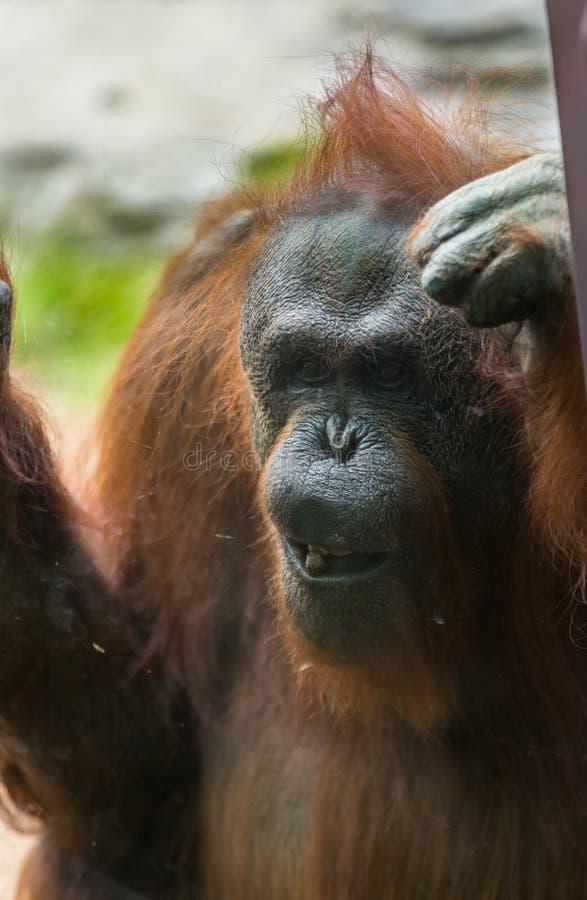 Orang-outan de zoo image stock