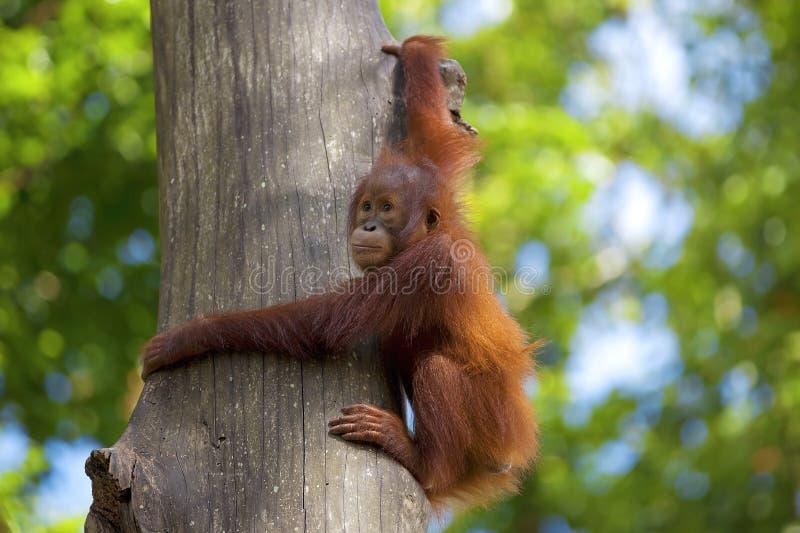 Orang-outan du Bornéo photo libre de droits