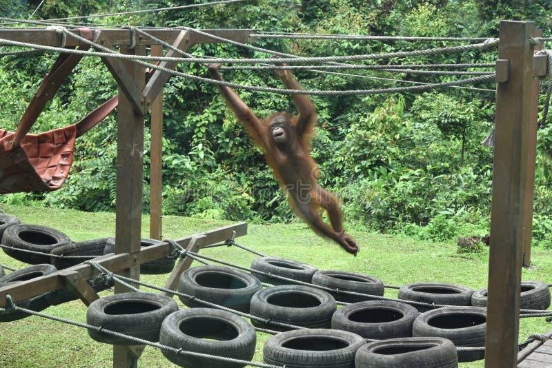 Orang-outan du Bornéo au centre de réhabilitation de Sandakan, Sepilok Sandakan, Sabah La Malaisie, Born?o photo libre de droits
