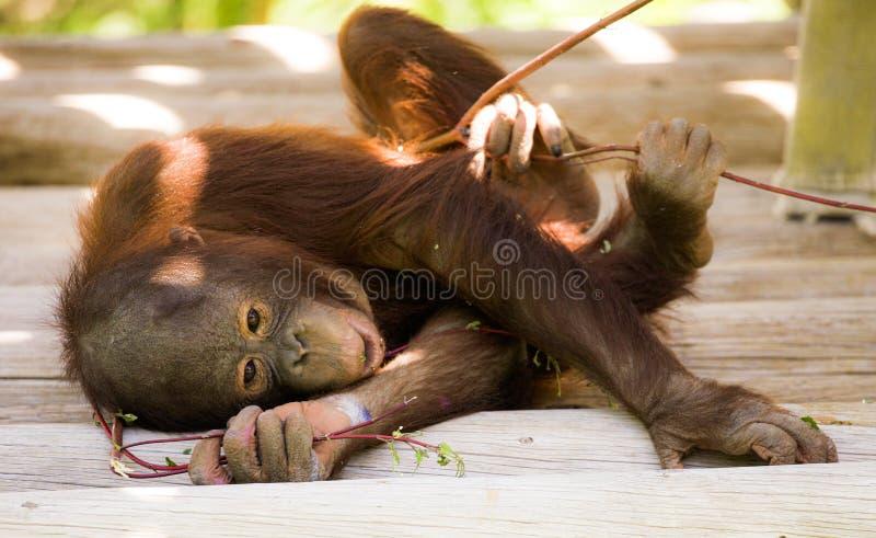 Orang-outan espiègle de bébé avec le bâton photos stock