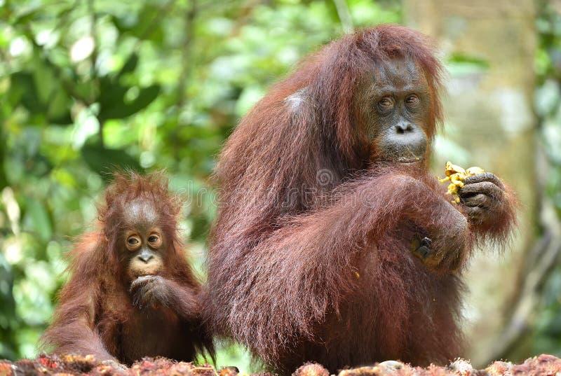Orang-outan et petit animal de mère images stock