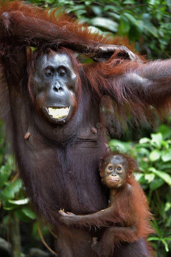 Orang-outan et petit animal de mère Wurmmbii de pygmaeus de Pongo d'orang-outan de Bornean E photographie stock