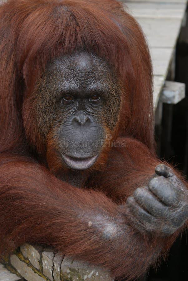 Orang-outan femelle image libre de droits