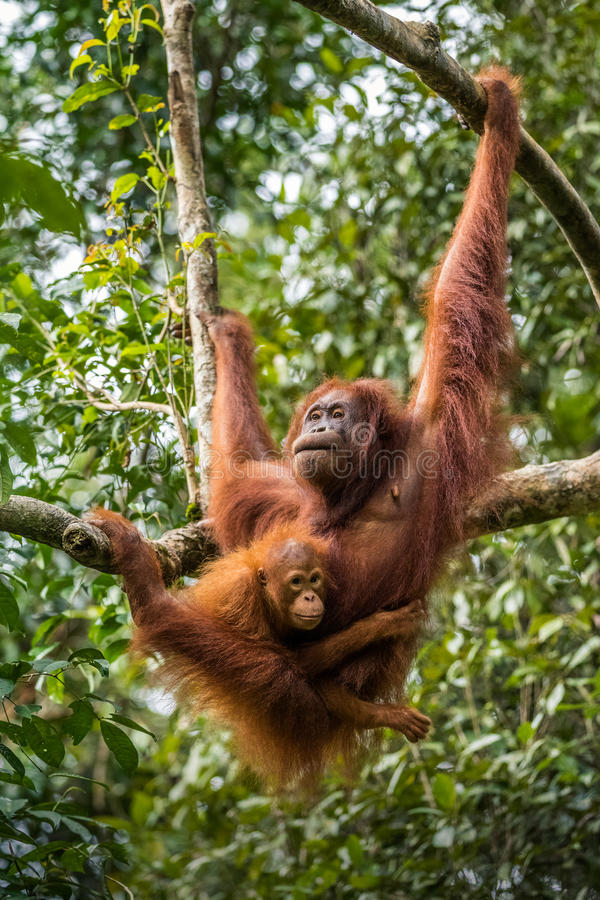 Orang-outan femelle avec le bébé photographie stock