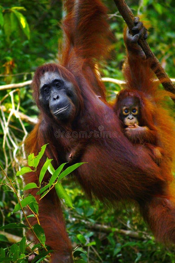 Orang-outan femelle avec son b?b? images stock