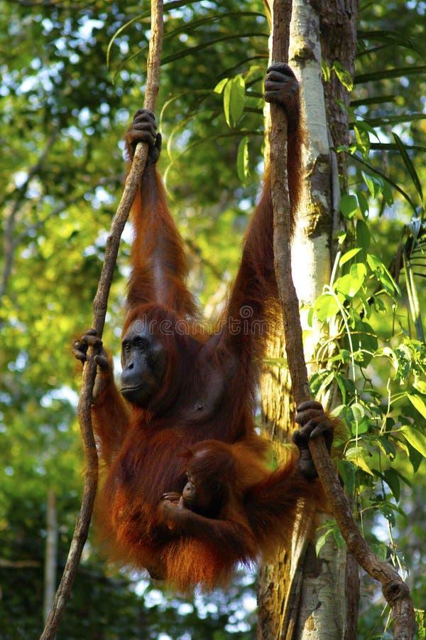 Orang-outan femelle avec son b?b? photographie stock libre de droits