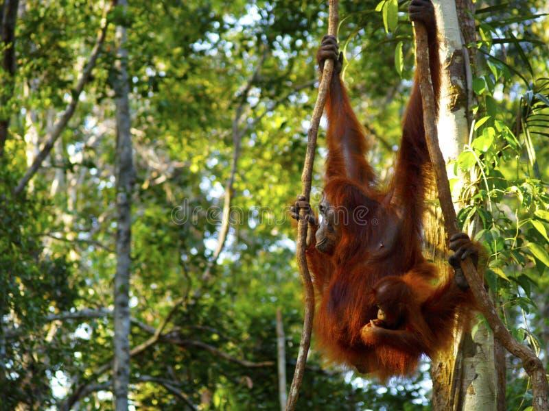 Orang-outan femelle avec son b?b? image libre de droits
