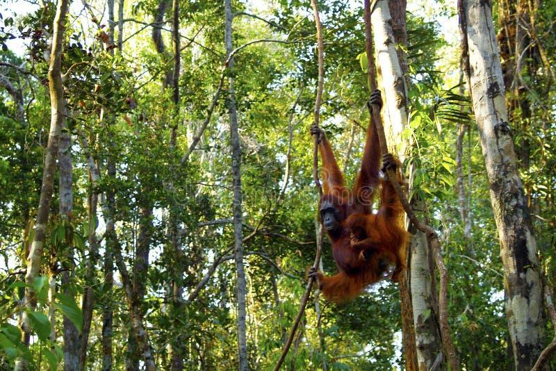 Orang-outan femelle avec son b?b? photographie stock